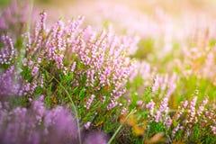 Bloeiende heide in het bos, DOF Stock Fotografie