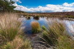 Bloeiende heide langs een meer in Nederland op een zonnige dag Stock Foto's