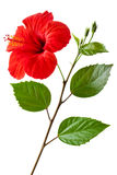 Bloeiende Hibiscus royalty-vrije stock foto's