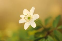 Bloeiende houten anemoon (Anemoonnemorosa) Royalty-vrije Stock Foto's