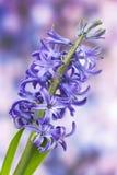 Bloeiende hyacintbloemen royalty-vrije stock foto's