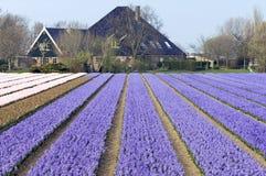 Bloeiende hyacinten in het bolgebied, Kennemerland royalty-vrije stock afbeelding