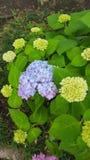 Bloeiende Hydrangea hortensia's Royalty-vrije Stock Foto's
