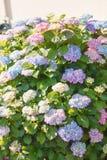 Bloeiende hydrangea hortensiastruik in zonneschijn Royalty-vrije Stock Fotografie