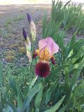 Bloeiende Iris Royalty-vrije Stock Foto