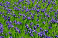 Bloeiende irisbloem in moeras, Kyoto Japan Stock Afbeelding