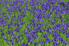 Bloeiende irisbloem in moeras, Kyoto Japan Stock Foto