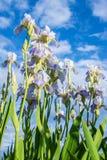 Bloeiende irissen tegen de blauwe hemel en de wolken Stock Afbeelding