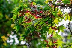 Bloeiende japanes rode esdoorn stock foto's