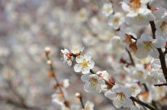 Bloeiende Japanse abrikoos, de lente in Kyoto Japan Stock Fotografie
