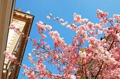 Bloeiende Japanse kers in een stad Royalty-vrije Stock Afbeelding
