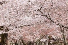 Bloeiende Japanse kersenboom royalty-vrije stock foto's