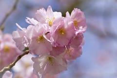 Bloeiende Japanse kersenboom Royalty-vrije Stock Fotografie
