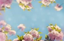 Bloeiende Japanse kersenboom en blauwe hemel stock afbeeldingen