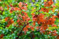 Bloeiende Japanse kweepeerboom in de tuin op een duidelijke dag stock fotografie