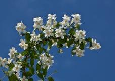 Bloeiende jasmijn Royalty-vrije Stock Fotografie