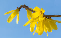 Bloeiende jasmijn stock fotografie