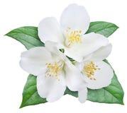 Bloeiende jasmijnbloem met bladeren Stock Afbeelding