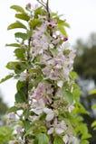 Bloeiende jonge boom met roze gevoelige bloemen Stock Afbeeldingen