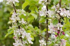 Bloeiende jonge boom met roze gevoelige bloemen Stock Foto's