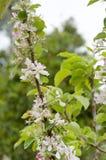 Bloeiende jonge boom met witte bloemen Royalty-vrije Stock Afbeeldingen