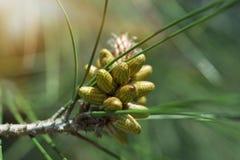 Bloeiende jonge naaldbomen in de lente in de bos Selectieve nadruk stock foto