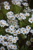 Bloeiende Kamillebloemen bij bloembed Stock Afbeeldingen