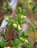 Bloeiende kamperfoeliebloemen in de lentetuin De struik van Loniceracaerulea stock foto's