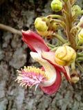 Bloeiende Kanonskogelboom - Barbados stock fotografie