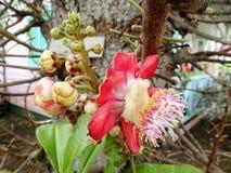 Bloeiende Kanonskogelboom - Barbados royalty-vrije stock afbeelding