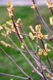 Bloeiende kastanje, groene bladeren, boomtak, groene bladeren Stock Afbeeldingen