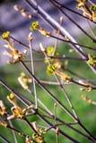 Bloeiende kastanje, groene bladeren, boomtak, groene bladeren Stock Foto's