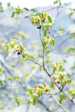 Bloeiende kastanjeboom Royalty-vrije Stock Foto's