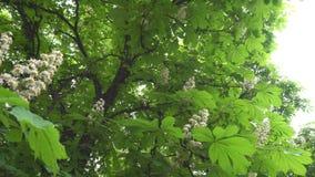 Bloeiende kastanjeboom stock video