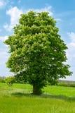 Een kastanjeboom met witte bloesem royalty-vrije stock foto