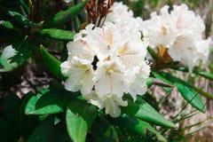 Bloeiende Kaukasische rododendron Stock Foto