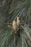 Bloeiende kegels van grote pijnboom stock foto