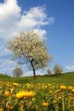 Bloeiende kers-boom Stock Afbeeldingen