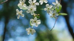 Bloeiende kers in de de lentetuin stock videobeelden