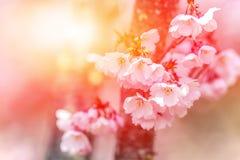 Bloeiende kers met stralen van de het plaatsen zon stock foto