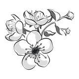 Bloeiende kers Sakuratak met bloemknoppen Zwart-witte tekening van een tot bloei komende boom in de lente Embleem met royalty-vrije illustratie