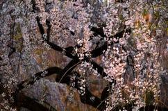 Bloeiende kersenbloesem in de Japanse garden、 lente Stock Foto's