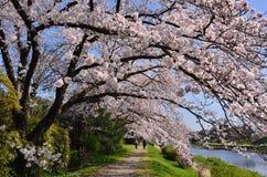 Bloeiende kersenbloesem, de lente in Kyoto Japan Stock Foto's