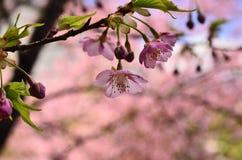 Bloeiende kersenbloesem in Japanse tuin, Kyoto Japan Royalty-vrije Stock Afbeelding