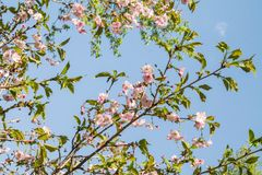 Bloeiende kersenbloesems op een blauwe hemelachtergrond Stock Foto