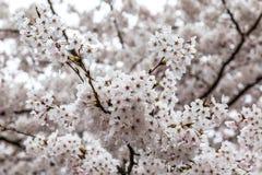 Bloeiende Kersenbloesems in Zhongshan-Park in de Lente, Qingdao, China Royalty-vrije Stock Afbeeldingen