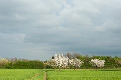 Bloeiende kersenbomen Royalty-vrije Stock Afbeeldingen
