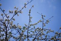 Bloeiende kersenbomen royalty-vrije stock afbeelding