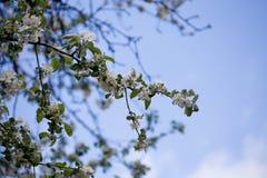 Bloeiende kersenbomen stock afbeelding