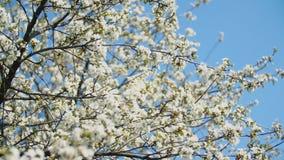 Bloeiende kersenbomen stock video